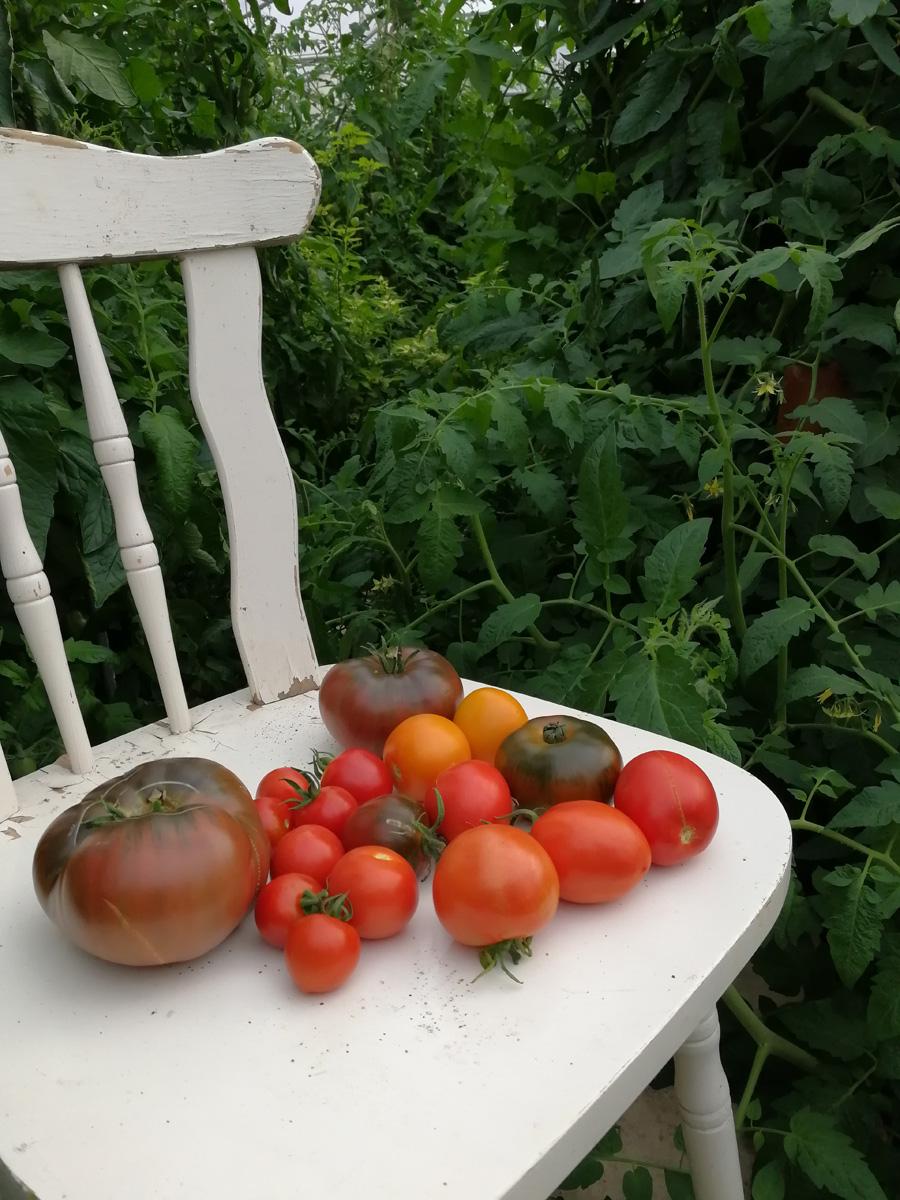 viele tomaten verarbeiten